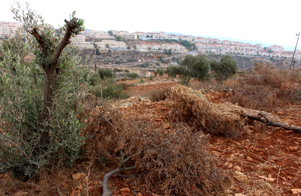 The West Bank settlement Beitar Illit can be seen in the background of an olive tree field in the Palestinian village Husan, where 38 trees were damaged by settlers in October 2013. Photo credit: EAPPI/J. Kaprio